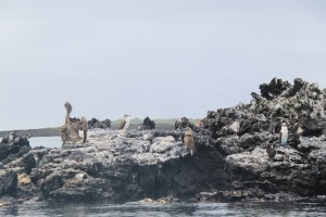 From left to right: brown pelican, blue-footed booby, frigate bird, penguin (camouflaged towards the bottom right) of the rocks, blue-footed booby