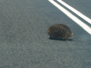 Why did the echidna cross the road?
