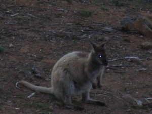 Wallaby right outside our window