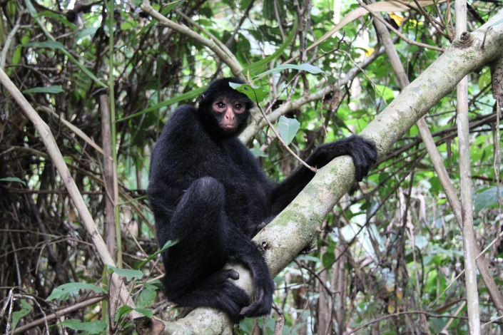 A spider monkey posing in the Amazon as we walked just below him