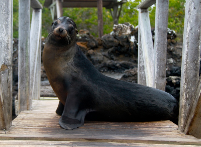 The cutest sea lion posing for us as we got off our boat at Tintoreas Island (Galapagos Island)