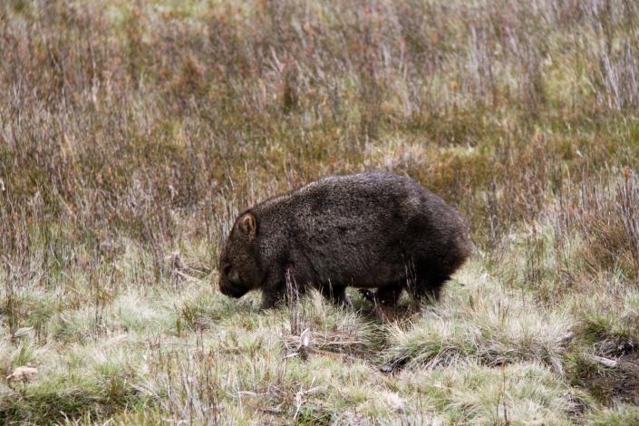 Wombat 1 of 7