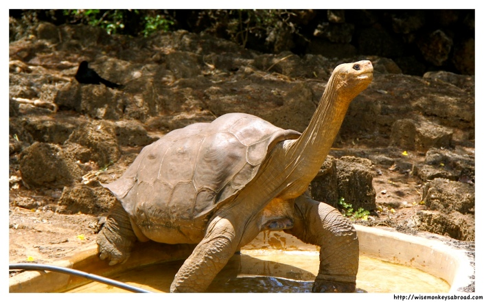 Lonesome George - the last of his kind