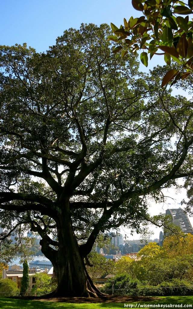 Iconic Moreton Bay Fig trees on Observatory Hill with the Harbour Bridge just peaking through